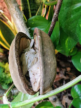Correlophus ciliatus / Kronengecko