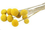 Trockenblume Craspedia gelb
