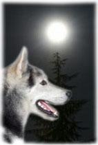 Schlittenhunde Nachtfahrt für Zwei
