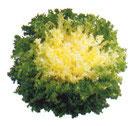 Salade Frisée