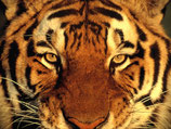Elixir - Tigre