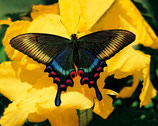 Elixir - Papillon