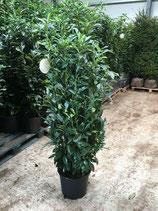 Kirschlorbeer Genolia 125-150 cm Höhe , Topfware