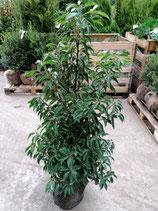 Portugiesischer Kirschlorbeer Angustifolia Höhe 100-120 cm , Ballenware