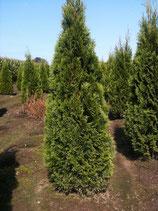 Thuja occidentalis Smaragd 160-180 cm Höhe , Ballenware