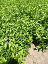Kirschlorbeer Rotundifolia 80-100 cm Höhe , Ballenware