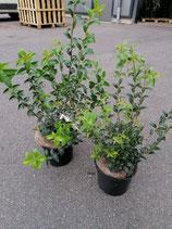 Duftblüte - Osmanthus burkwoodii 30-40 cm Topfware