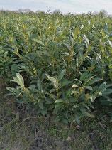 Kirschlorbeer Herbergii 60-80 cm Höhe