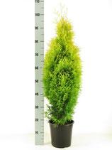Gelber Smaragdlebensbaum - Thuja occidentalis Sunny Smaragd 80-100 cm Höhe