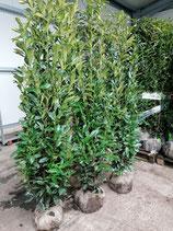 Kirschlorbeer Genolia 180-200 cm Höhe , Ballenware