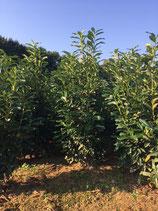 Kirschlorbeer Rotundifolia 150-175 cm Höhe , Ballenware