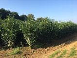 Kirschlorbeer Rotundifolia 125-150 cm Höhe , Ballenware