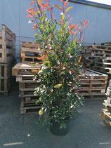 Glanzmispel Red Robin 150-175 cm Höhe