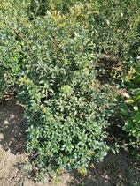 Duftblüte - Osmanthus burkwoodii 80-100 cm Ballenware