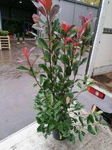 Glanzmispel Red Robin  100-120 cm Höhe , Topfware