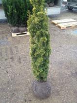 Taxus baccata David - Gelbe Säuleneibe David 100-120 cm Höhe