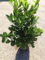 Kirschlorbeer Rotundifolia 100-120 cm Höhe , Ballenware