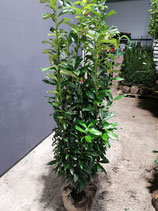Kirschlorbeer Genolia 140-160 cm Höhe , Ballenware