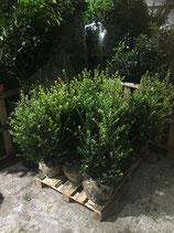 Ilex crenata Green Hedge Höhe 80-100 cm , Ballenware