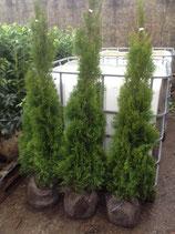 Thuja occidentalis Smaragd 120-140 cm Höhe , Ballenware