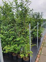 Hainbuche - Carpinus betulus 175-200 cm