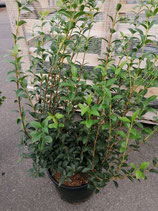 Duftblüte - Osmanthus burkwoodii 60-80 cm Topfware
