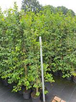 Hainbuche - Carpinus betulus 150-175 cm