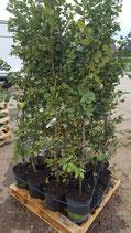 Hainbuche - Carpinus betulus 125-150 cm