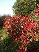 Glanzmispel 'Red Robin' 180-200 cm Höhe