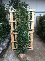 Kirschlorbeer Genolia 160-180 cm Höhe , Ballenware