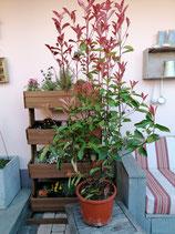 Glanzmispel Red Robin  120-140 cm Höhe , Topfware