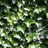 Irisches Efeu - Hedera hibernica Höhe 125-150 cm