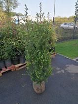Ilex crenata Green Hedge Höhe 140-160 cm , Ballenware