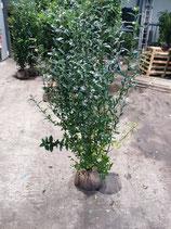 Liguster , Ligustrum vulgare ` Atrovirens ` Höhe  125 - 150 cm