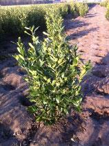 Kirschlorbeer Herbergii 125-150 cm Höhe