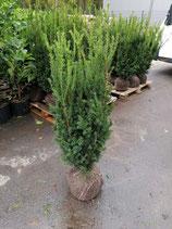 Bechereibe Hillii 100-120cm ( Taxus media Hillii )