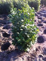 Kirschlorbeer Etna 80-100 cm Höhe