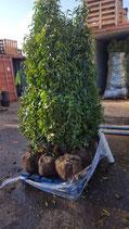 Portugiesischer Kirschlorbeer Angustifolia Höhe 160-180 cm , Ballenware