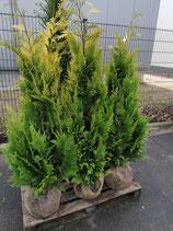 Gelbe Scheinzypresse Cham. law. Yvonne 120-140 cm