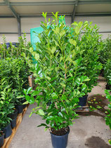 Kirschlorbeer Rotundifolia 125-150 cm Höhe , Topfware