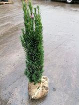 Säuleneibe Fastigiata Robusta 60-80 cm Höhe
