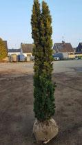 Gelbe Säuleneibe 140-160 cm Höhe