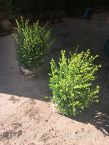Ilex crenata Green Hedge Höhe 40-60 cm , Ballenware