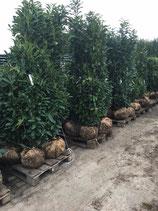 Kirschlorbeer Genolia 200-220 cm Höhe , Ballenware