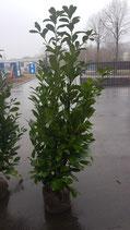 Kirschlorbeer Rotundifolia 160-180 cm Höhe , Ballenware
