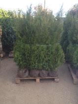 Abendländischer Lebensbaum Brabant 175-200 cm Höhe
