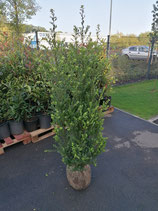Ilex crenata Green Hedge Höhe 120-140 cm , Ballenware