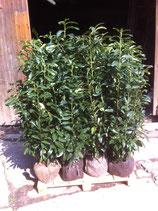 Kirschlorbeer Genolia 100-125 cm Höhe , Ballenware