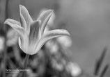 Tulpe farbe zu s/w