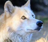 Der Wolf - Phantasiereise